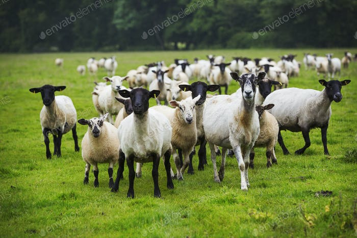 A flock of sheep in a field.