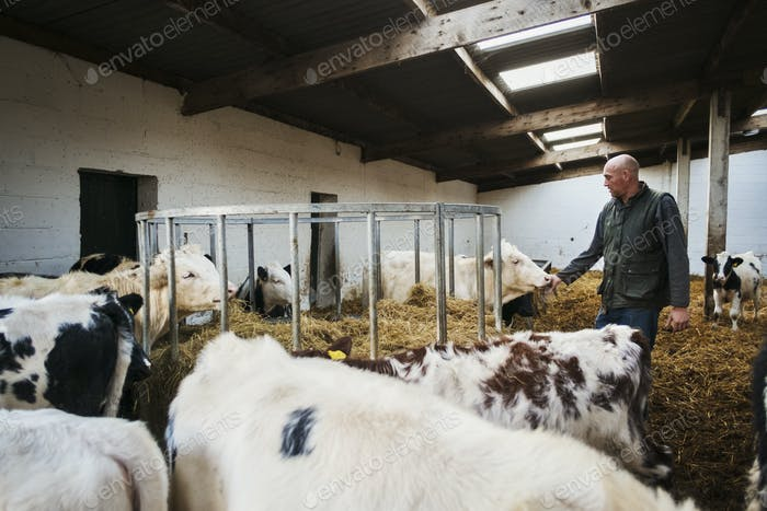 Farmer and herd of cows in a cowshed.