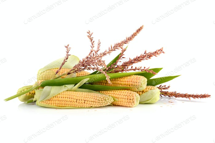 Ripe corn cobs