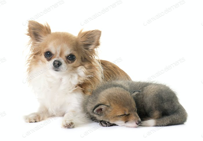 red fox cub and chihuahua