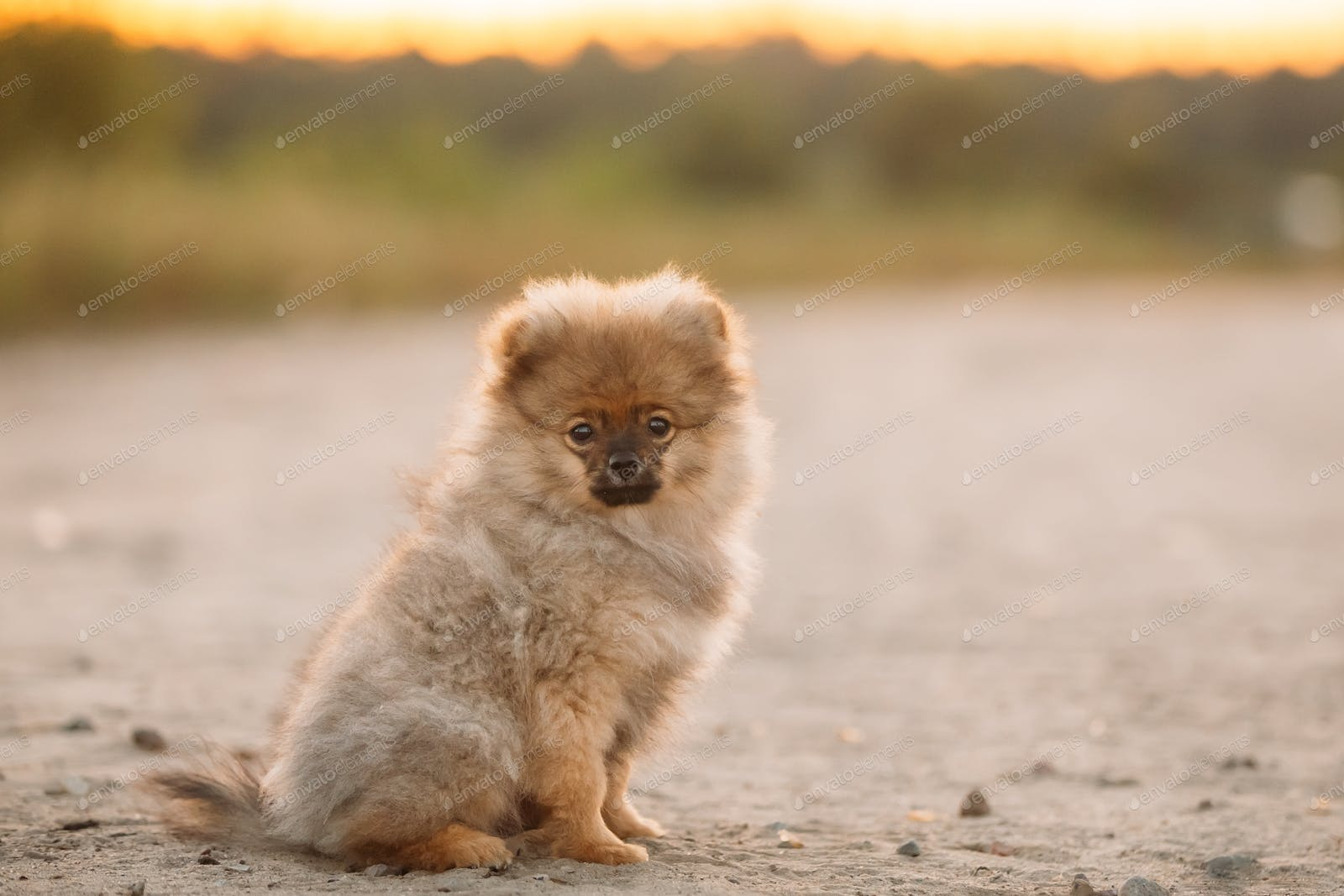 Young Hy White Puppy Pomeranian