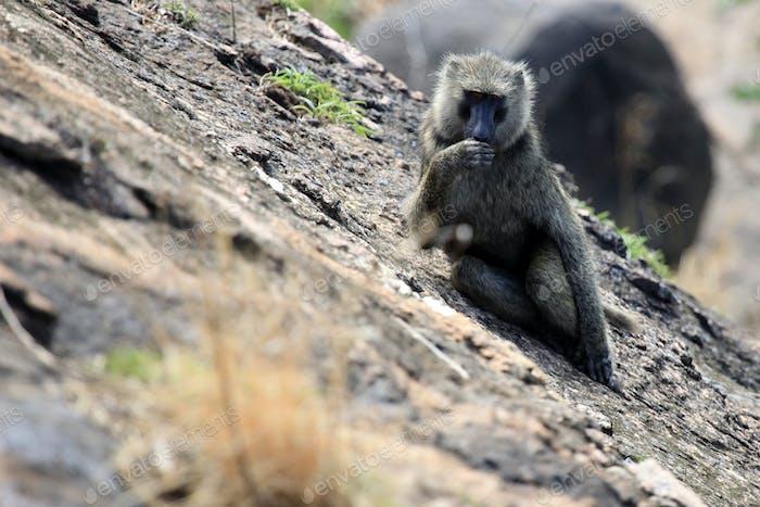 Baboon - Uganda, Africa