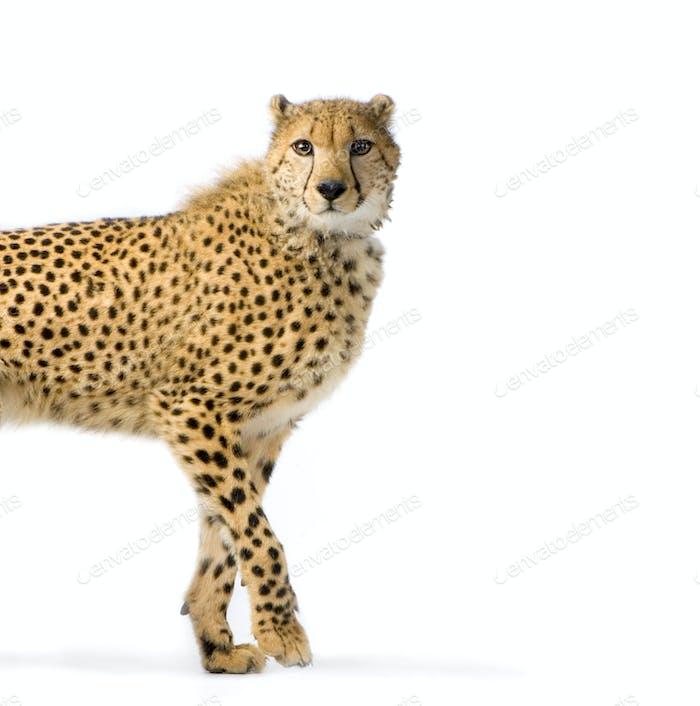 Gepard Walking