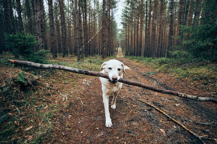 Labrador retriever carrying stick in mouth.