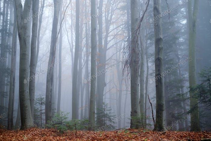 Mysterious dark beech forest in fog