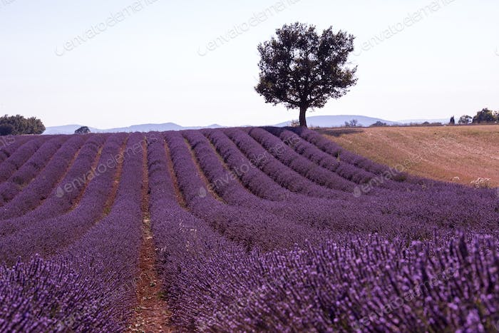 purple lavender flowers field with lonely tree