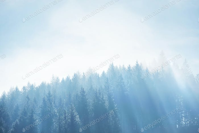 Spruce forest with dense fog and sunrays at the dawn. Autumn mor
