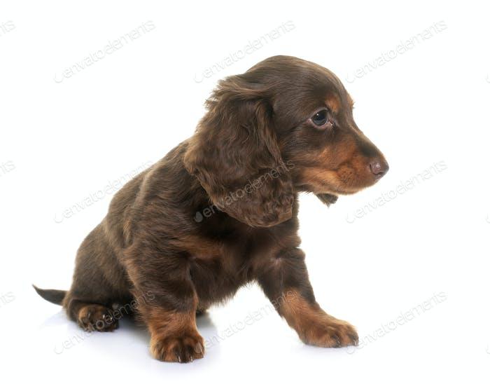 puppy dachshund  in studio