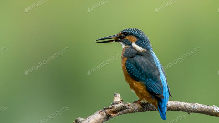 Common Kingfisher (Alcedo athis) sitting on a branch.