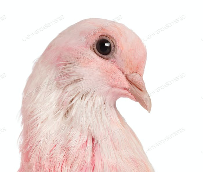 Close-up of a Pink Dove against white background