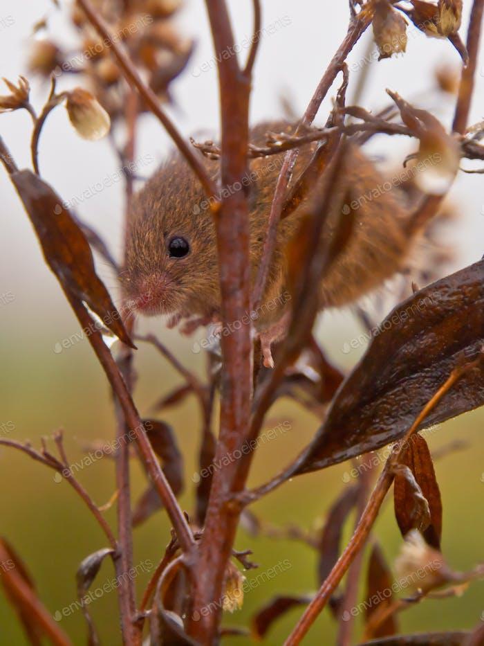 Harvest mouse peeking
