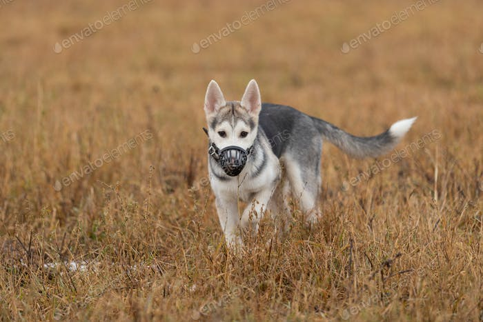 Young husky puppy on a walk in the autumn field