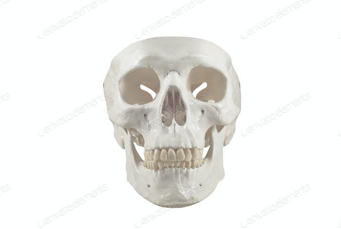 Menschlicher Schädel-Modell, isoliert