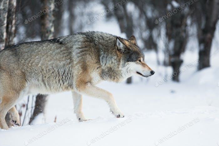 Wolf schleichend im Winterwald