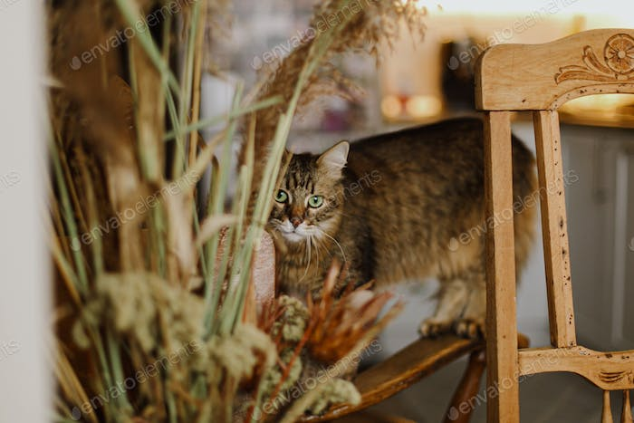 Cute tabby cat playing on rustic wooden chair at big dried grass in kitchen