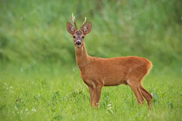 Roe deer, capreolus capreolus, buck with clear green blurred background