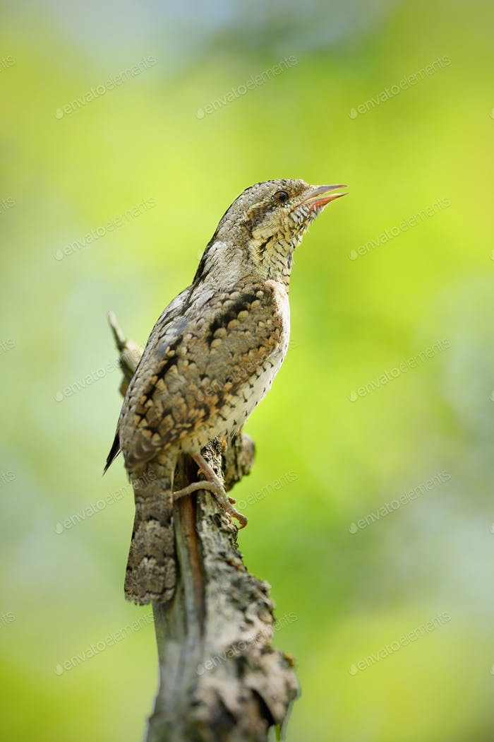 Eurasian wryneck, jynx torquilla, sitting in forest and singing with open beak