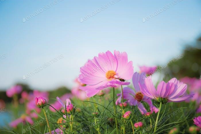 Pink cosmos with blue sky