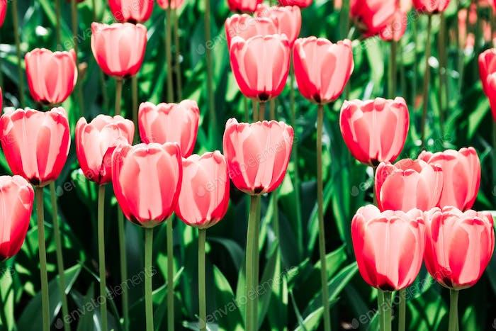 Vollrahmen rosa Tulpen Frühlingshintergrund in einem Garten. Das Konzept der Blüte und Srping.