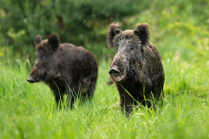 Two fierce wild boars standing together in wilderness in summertime