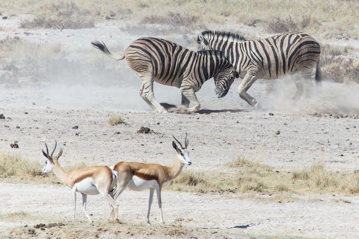 Zebra Fight - Etosha, Namibia