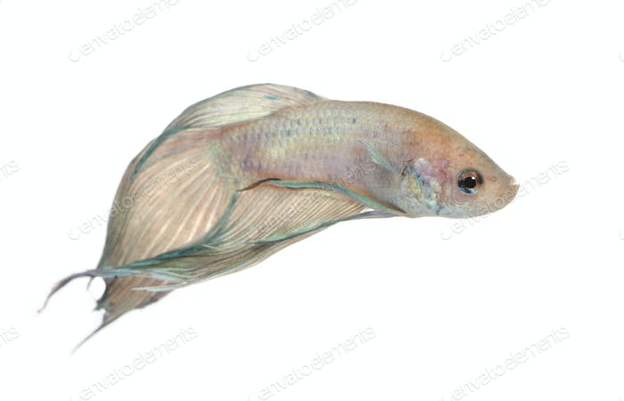 Thumbnail for Siamese fighting fish - Betta Splendens