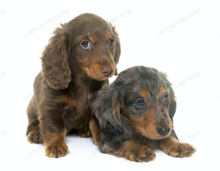 puppies dachshund  in studio