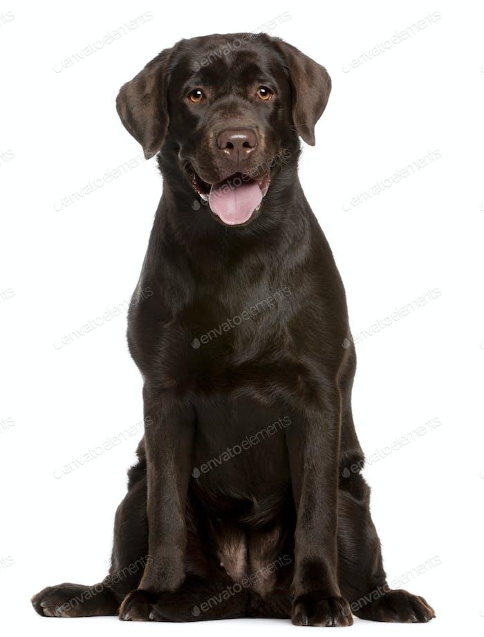 Labrador Retriever (7 months old)