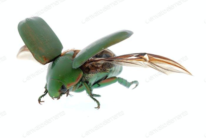 fliegende Insektengrün Käfer isoliert auf weiß