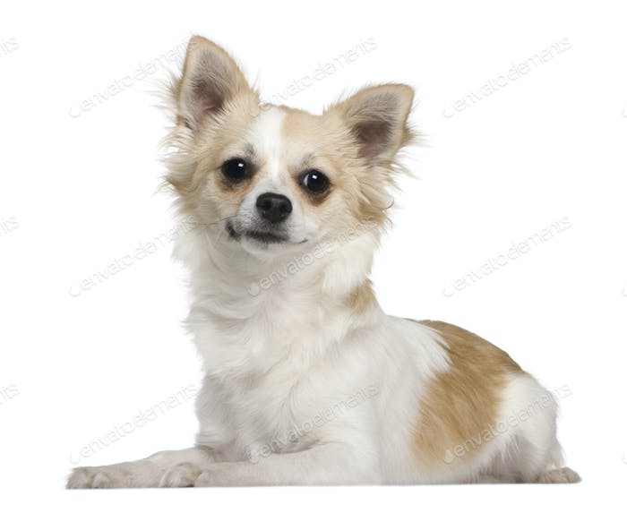 Chihuahua, 7 months old, lying in front of white background
