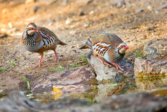 Red-legged Partridge, Monfrague National Park, Spain