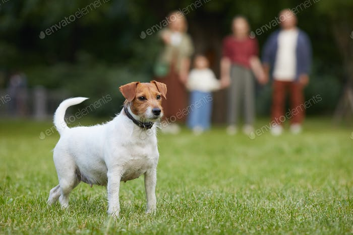 Jack Russel Terrier Dog in Park