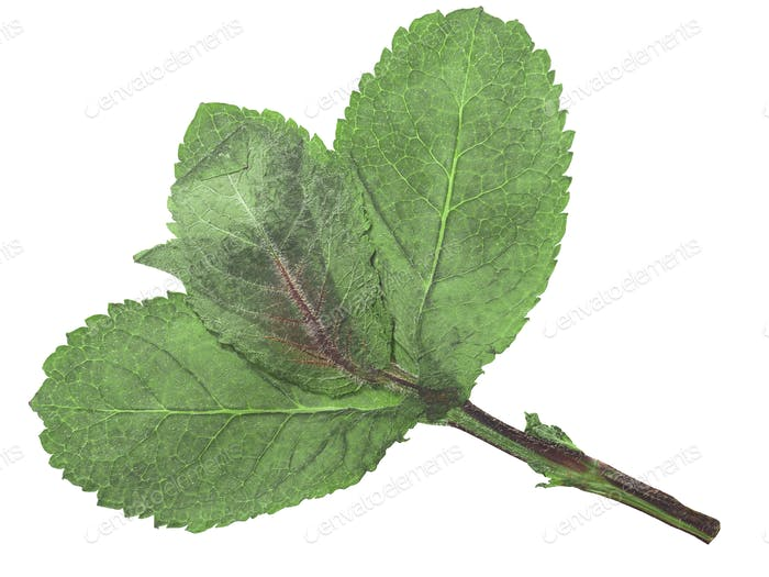 Dried flattened Peppermint leaves (Mentha piperita), isolated, top  view