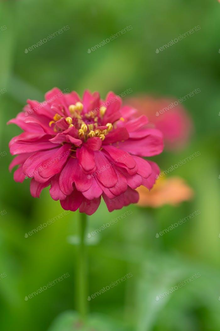 Nahansicht von Magenta Blume