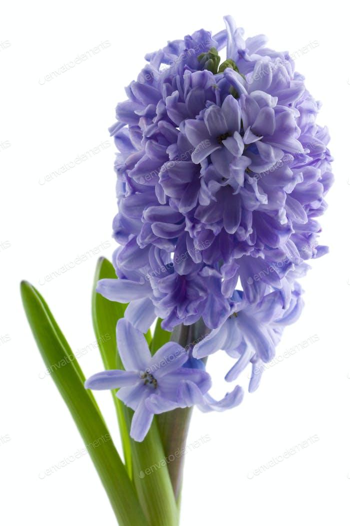 hyacinth isolated