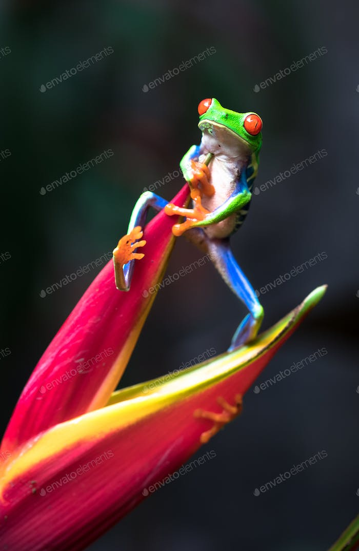 Red-eyed Tree Frog Climbs a Heliconia Flower in Costa Rica