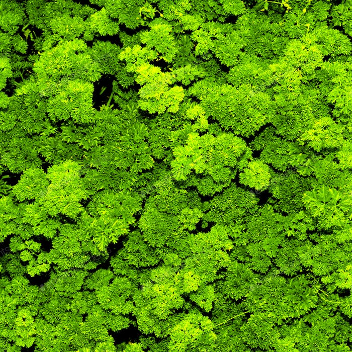Seasoning Parsley Green background