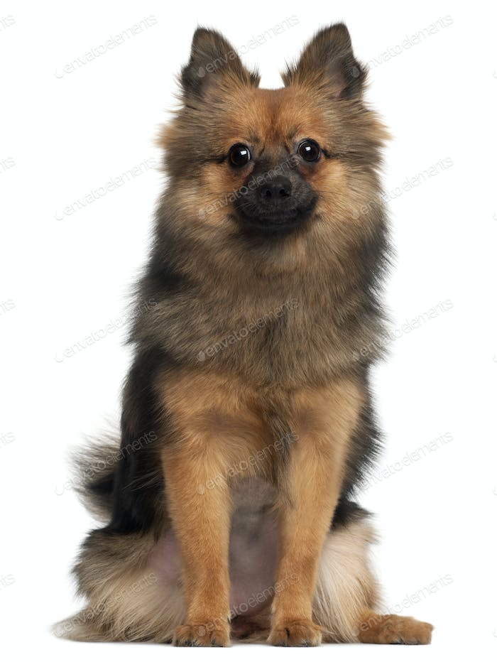 Small fluffy dog sitting in front of white background