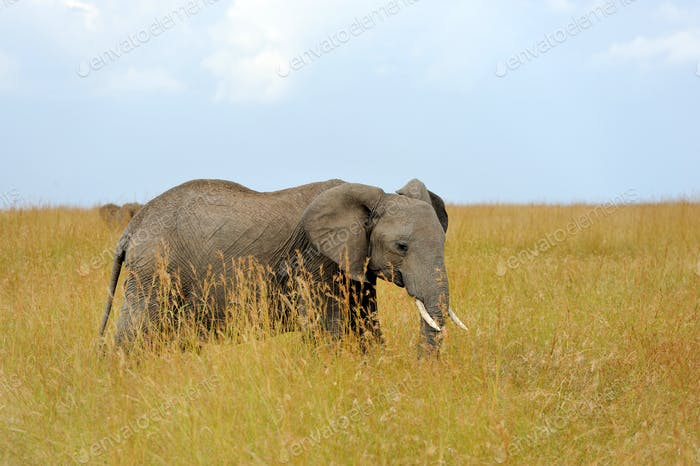 Elefant im Nationalpark Kenias