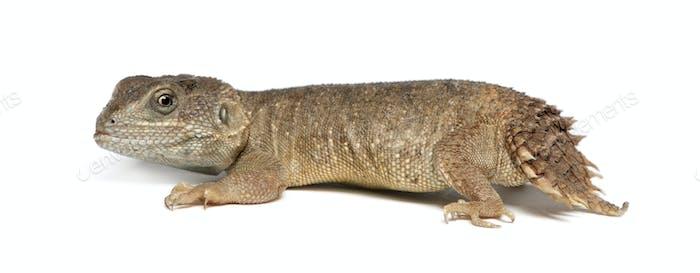 Shield-tailed Agama - Xenogama taylori