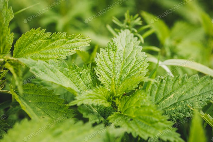 Twigs Of Wild Plant Nettle - Stinging Nettle - Urtica Dioica In Summer Spring Meadow. Close Up