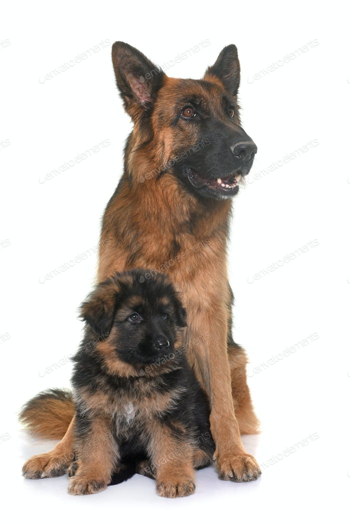 puppy and adult german shepherd