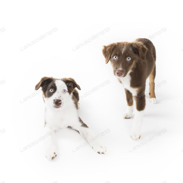 Two Blue Eyed Puppies
