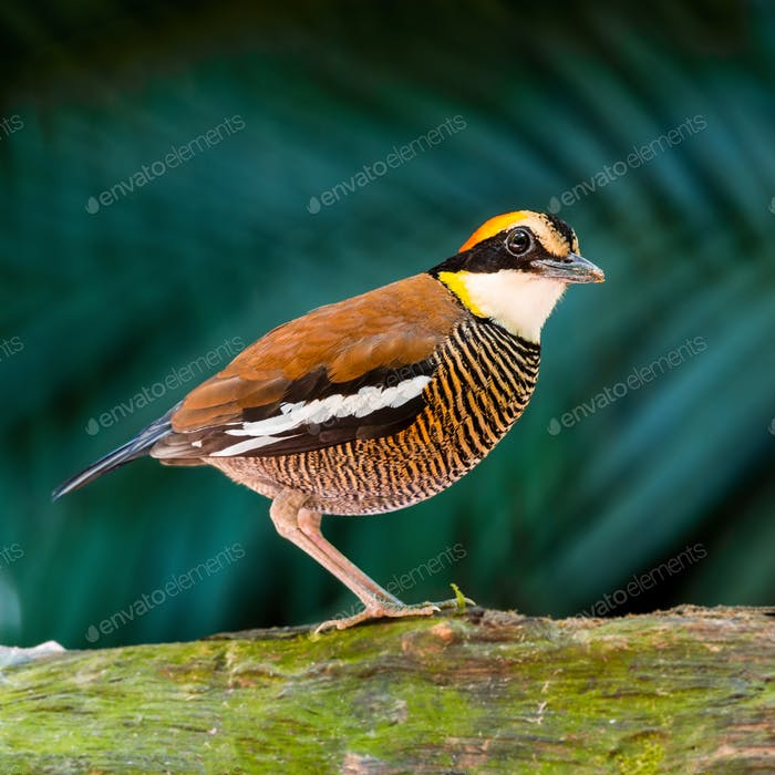 female Malayan Banded Pitta