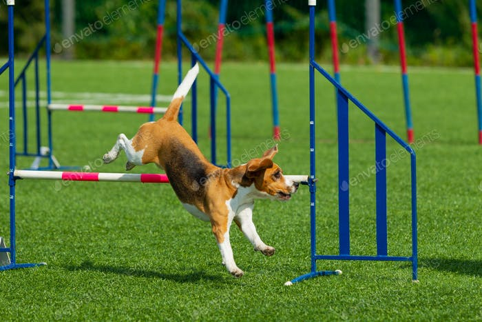 Dog at the Agility Competition
