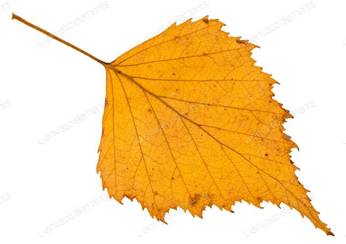 fallen autumn yellow leaf of birch tree isolated