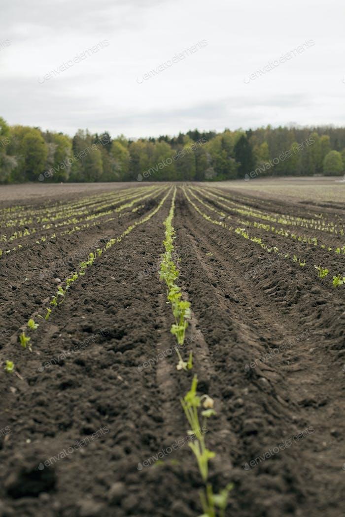 Ein offenes Feld, mit gepflügter Erde. Sämlinge wachsen in Reihen.