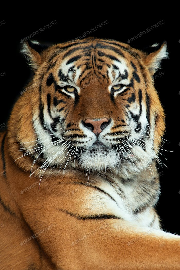 Tiger portrait on black background