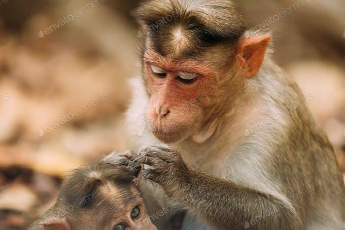 Goa, Indien. Motorhaube Macaque - Macaca Radiata Oder Zati Ist Auf der Suche Nach Flöhen Auf Sein Junges. Nahaufnahme