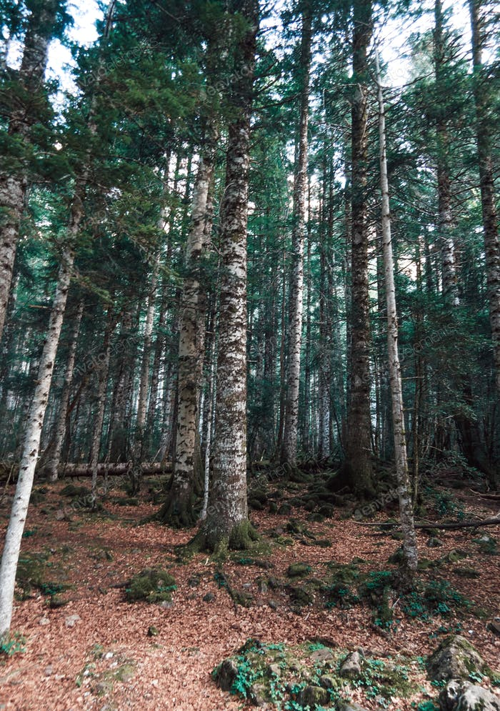Deep forest on the Pyrinees